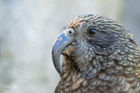 Kea Close Up